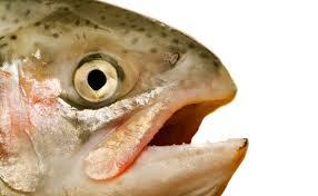 Salmon-face.jpg