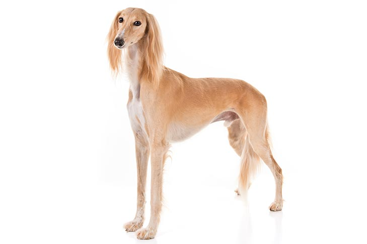 Saluki-On-White-01.jpg