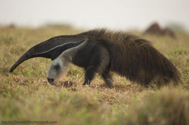 Giant-Anteater-1.jpg