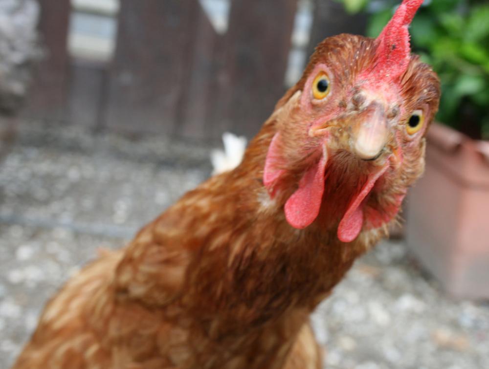 chicken-011.jpg