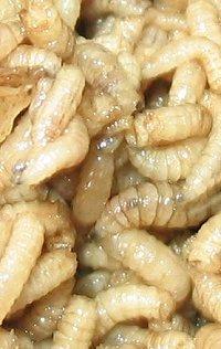 maggots180804.jpg