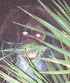 Myakka Skunk Ape (Close view)