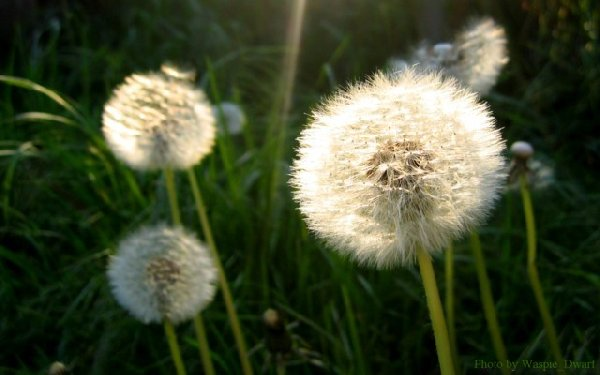 Dandelions in the evening light