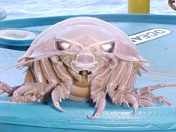 Bathynomus Giganteus (Giant Isopod)