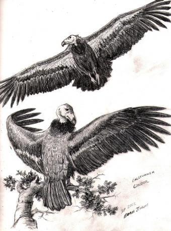 Califonia Condor Study, Graphite on Paper