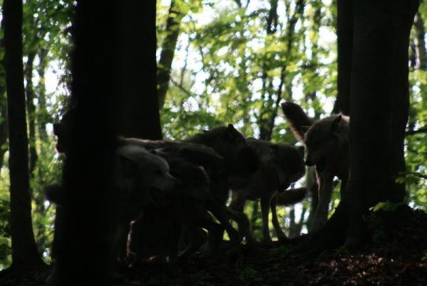 Socialising wolves