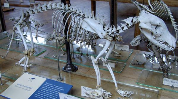 Thylacine Skeleton
