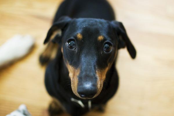 Zoey puppy