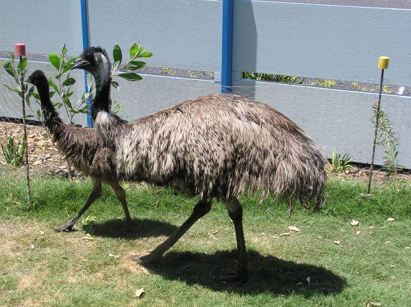 Some grey emu or something