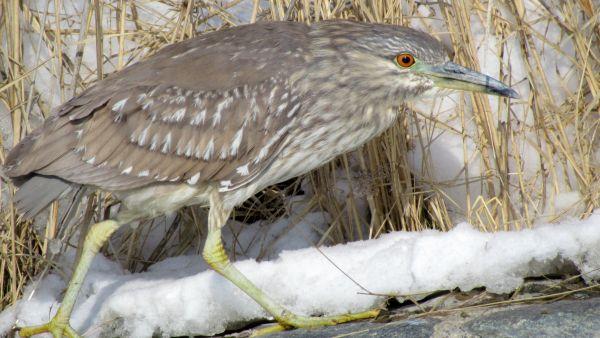 Black Crowned Night Heron (female)