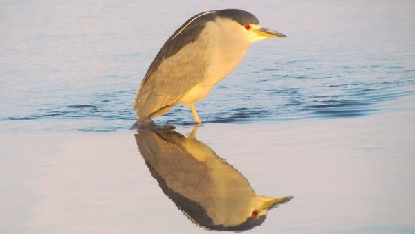 Reflected Black Crowned Night Heron (male)