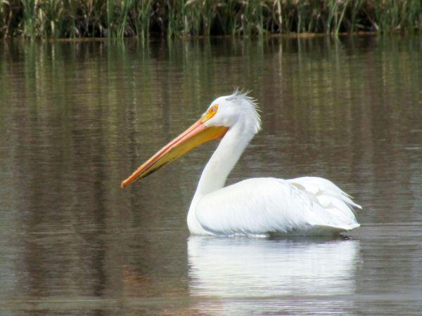 American White Pelican (female)