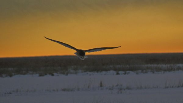 Barn Owl Hunting at Sunset