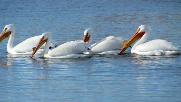 Return of the Pelicans