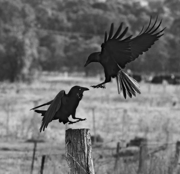 2 Crows, 1 Post