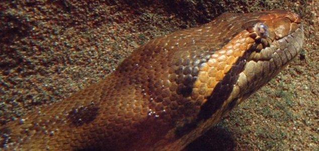 Anaconda man fails 'Eaten Alive' attempt - Unexplained Mysteries