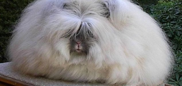 news-angora-rabbit.jpg