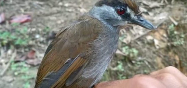 'Extinct' bird rediscovered after 170 years News-babbler