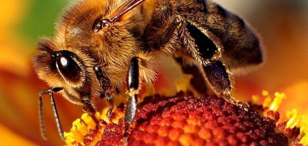 Quarter of all bee species missing since 1990s News-bee-closeup