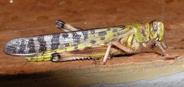 Scientists discover key to huge locust swarms News-desert-locust