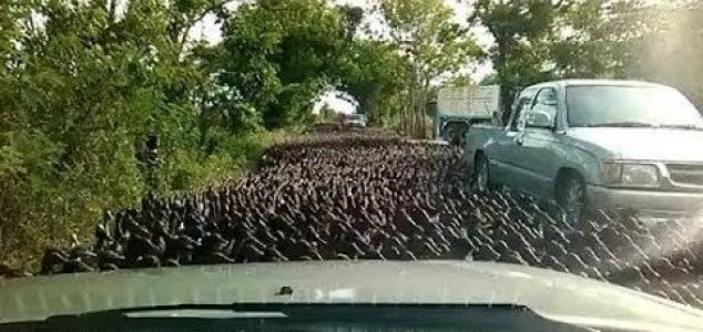 Thousands of ducks swarm road in Thailand - Unexplained Mysteries