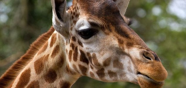 Conservationists spot unique 'dwarf' giraffes News-giraffe