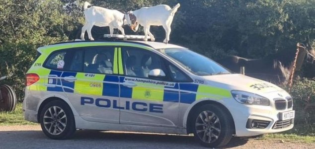Two goats 'attack' police car on Isle of Wight News-goats-police
