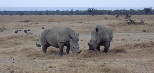 Eggs harvested from last northern white rhinos News-northern-white-rhino-2