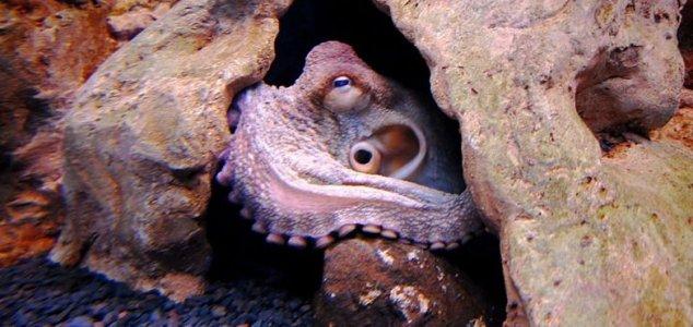 Freshwater octopus - photo#16