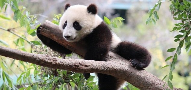 Giant pandas are no longer endangered News-panda