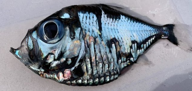 Bizarre 'Picasso fish' looks like a painting