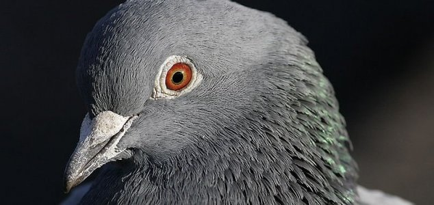 Mystery as thousands of pigeons disappear News-pigeon-head
