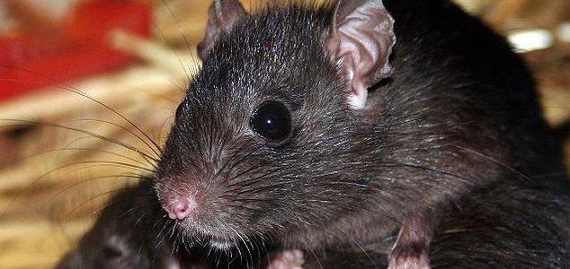 Bubonic Plague Making a Comeback in China and LA News-rat-2