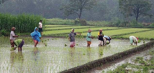 China develops way to grow rice in salt water - Unexplained Mysteries