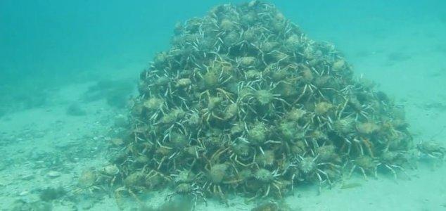 news-spider-crabs.jpg