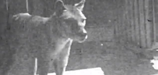 Previously unseen thylacine footage unearthed News-thylacine-video