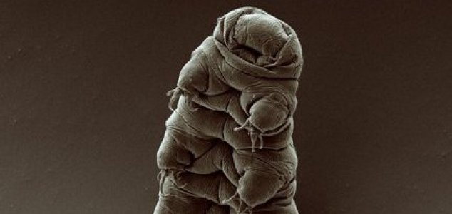Tardigrades may be stranded on the Moon News-water-bear