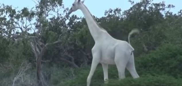 World's sole remaining white giraffe gets GPS News-white-giraffe